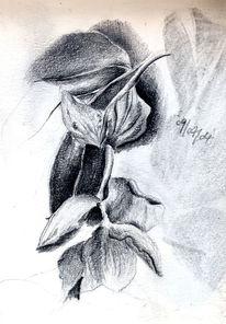 Indonesische, Schwarzmundpflanze, Medinilla, Mit rosafarbenen blüten