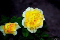 Rose, Fotografie
