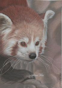 Tierportrait, Roter panda, Wildtier, Zeichnung