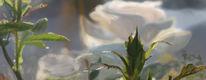 Weiße rose, Rosenknospe, Blumen, Sommer