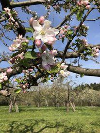 Blüte, Apfel, Im täle, Fotografie