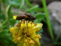 Pflanzen, Blumen, Fliege, Natur