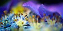 Hortensien, Knospe, Gelb, Makro blauviolett