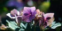Hortensien, Bokeh, Violett, Blüte