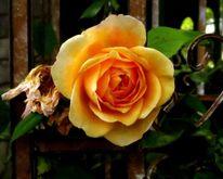 Musik, Rose, Fotografie,
