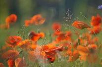 Mohnblumen, Frühling, Blüte, Gras