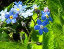 Blühen, Frühling, Tau, Blau