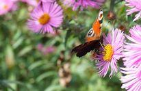 Schmetterling, Pfauenauge, Blüte, Lila