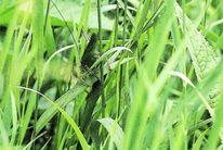 Grasgrün, Insekten, Halm, Fotografie