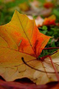 Blätter, Herbst, Glühen, Gegenlicht