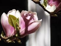 Frühling, Magnolienblüte, Blühen, Magnolien