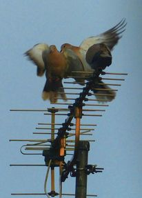 Taube, Vogel, Antenne, Flügel