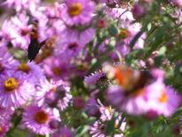 Herbstblütenbusch, Herbstaster, Bewegte, Schmetterling