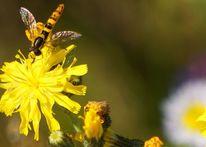 Glitzerflügel, Gelb, Schwebfliege blüte, Fotografie