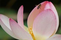 Rosa, Weiß, Lotos, Biene