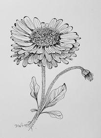 Pflanzen, Blumen, Gänseblümchen, Illustrationen