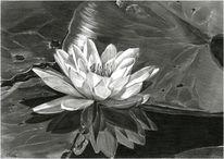 Seerosen, Wasser, Bleistiftzeichnung, Pflanzen