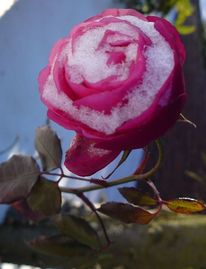Rose, Vereisen, Winter, Fotografie