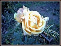 Abend, Rose, Gelb, Fotografie