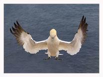 Helgoland, Insel, Vogel, Küste