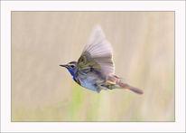 Bunt, Blaukehlchen, Fliegen, Singvogel