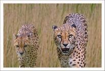 Raubtier, Beutegreifer, Savanne, Afrika