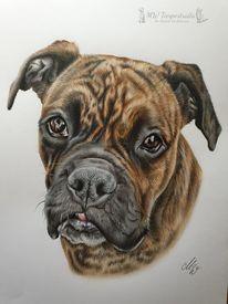 Hund, Buntstifte, Polychromos, Boxer