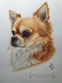 Zeichnung, Hund, Chihuahua, Polychromos
