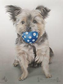 Tierzeichnung, Hund, Yorkshire terrier, Buntstiftzeichnung