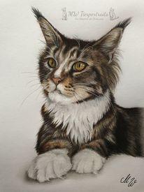 Zeichnung, Katze, Main coon, Polychromos