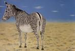 Steppe, Zebra, Malerei, Tiere