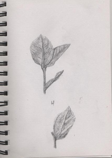 Pflanzen, Blätter, Zeichnungen