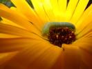 Gelb, Magarite, Blumen, Raupe