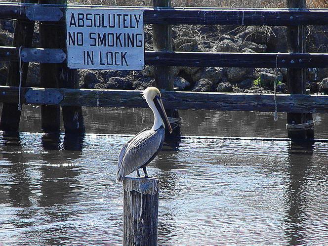 Florida, Rauchen, See, Wasser, Okeechobee, Pelikan