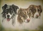 Hundeportrait, Sheepherd, Hundezeichnung, Tierzeichnung