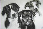Mischlingshunde, Bernersennenhund, Zeichnungen, Kohlezeichnung