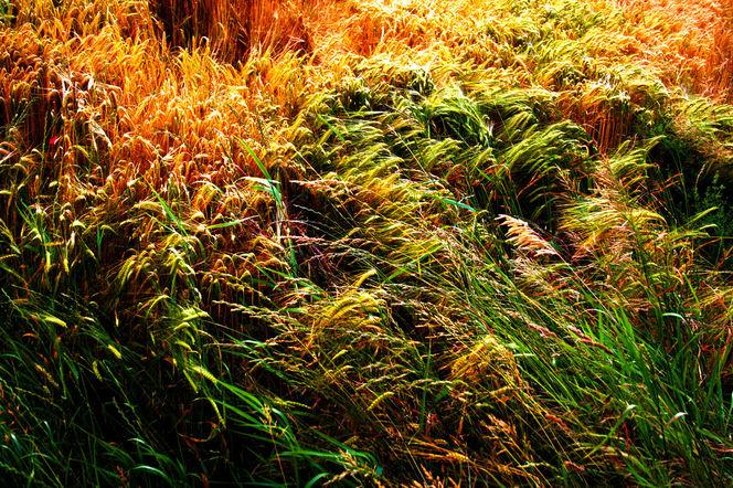 Kornfeld, Weizen, Sonne, Getreide, Wärme, Wind