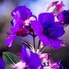 Tibouchenie oder Veilchenbaum - tibouchenie, blätter, herbst, sonne, blau, veilchenbaum