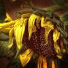 Herbst, Makro, Verwelken, Gelb