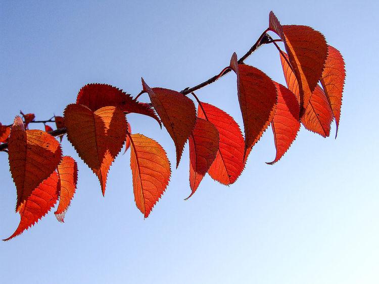Blätter, Herbstblätter, Sonne, Rot, Zweig, Herbst