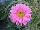 Hübsch, Biene, Makro, Tiere