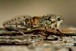 Insekten, Zirkade, Kroatien, Natur