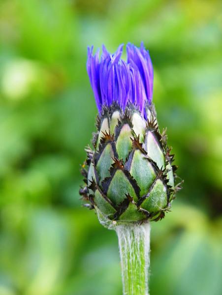 Fotografie, Blau, Grün, Herbst, Kornblumen, Blumen