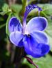 Fotografie, Blumen, Pflanzen, Clerodendrum