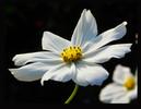 Pflanzen, Schwarz weiß, Blumen, Schmuckkörbchen