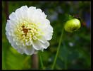 Pflanzen, Dahlien, Blumen, Schwarz weiß