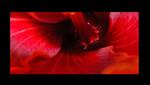 Hibiskus, Makro, Pflanzen, Blumen