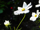 Herbst, Pflanzen, Blumen, Schwarz weiß