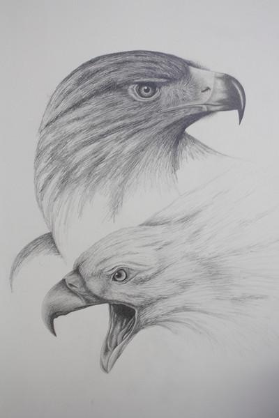Tierzeichnung, Tiere, Vogel, Irina wall, Tierstudie, Adler