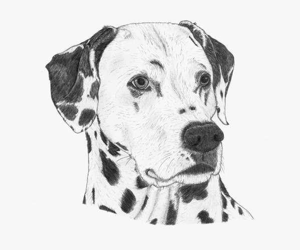 bild dalmatiner hund hundeportrait zeichnungen von marco schadegg bei kunstnet. Black Bedroom Furniture Sets. Home Design Ideas
